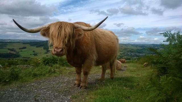Cattle close-up